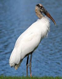 Wood Stork Wading